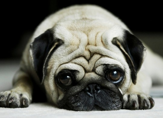 tired-pug-animal-hd-wallpaper-1920x1080-5236