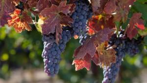RBZ Vineyard 10.4.09 - Fall Leaves & clusters